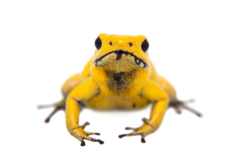 The golden poison frog. Phyllobates terribilis, on white, on white background stock photos