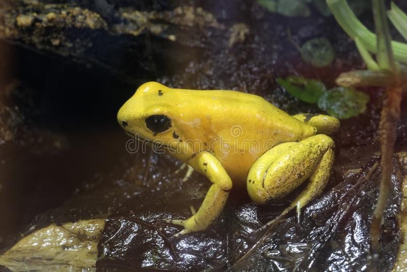 Golden Poison Frog. Phyllobates terribilis The worlds most poisonous animal royalty free stock photo