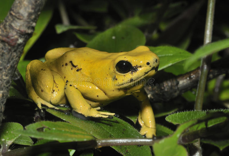Golden Poison Frog. Phyllobates terribilis The worlds most poisonous animal stock photography