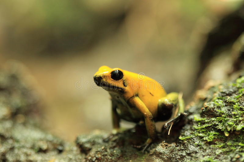 Golden poison frog. Sitting on the rock stock image