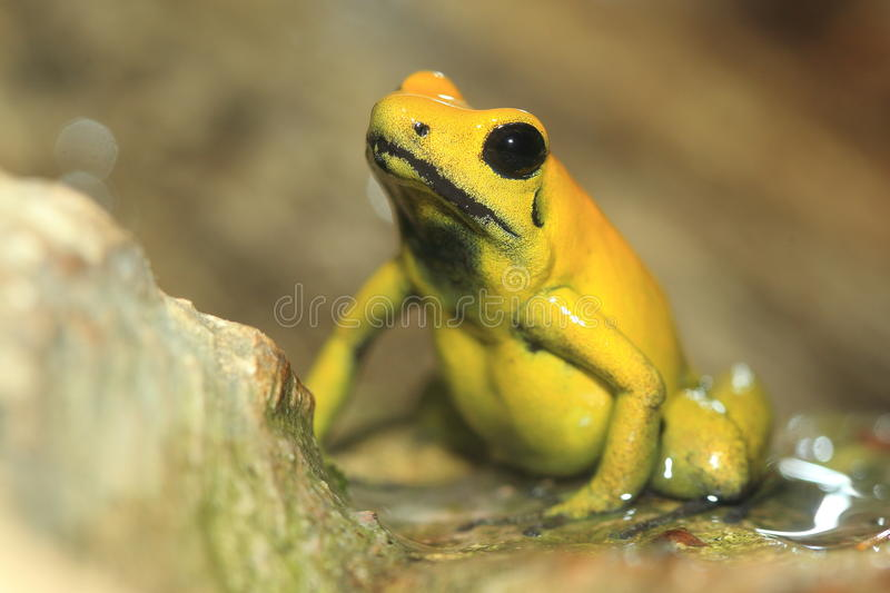 Golden poison frog. Sitting on the rock stock photo