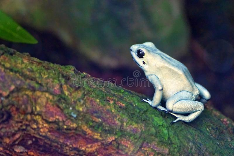 Golden Poison Frog. On a tree limb stock photo