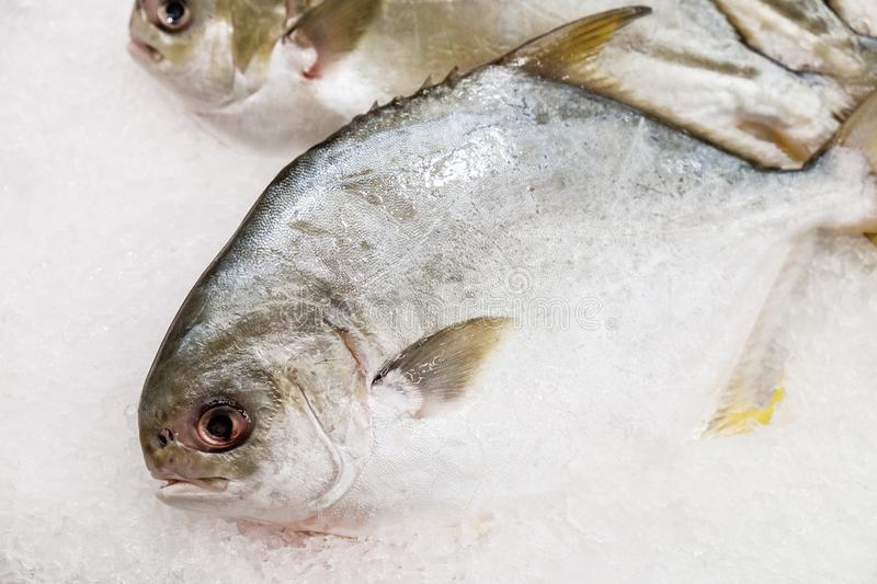 Golden Pomfret fishes on ice. Fresh raw uncook Golden Pomfret fishes on ice in morning market stock photos