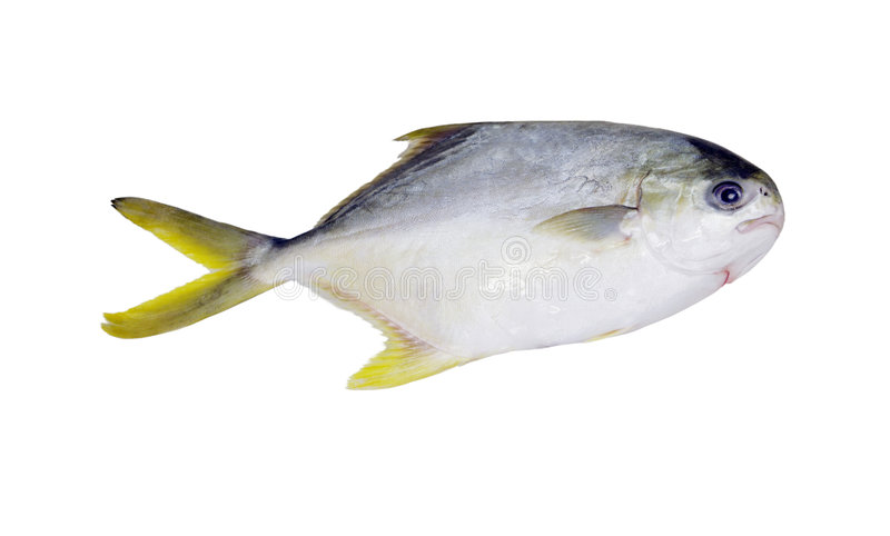 Golden pompano fish stock photography