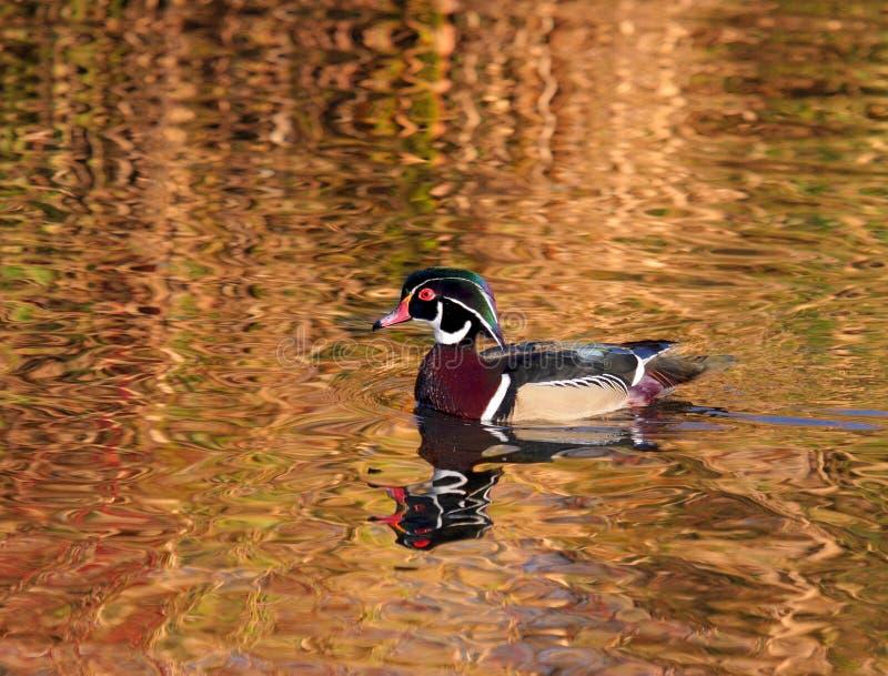 On Golden Pond royalty free stock photos