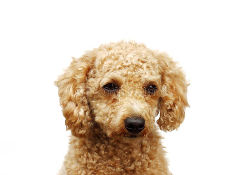 Golden poodle puppy. Isolated on white stock image