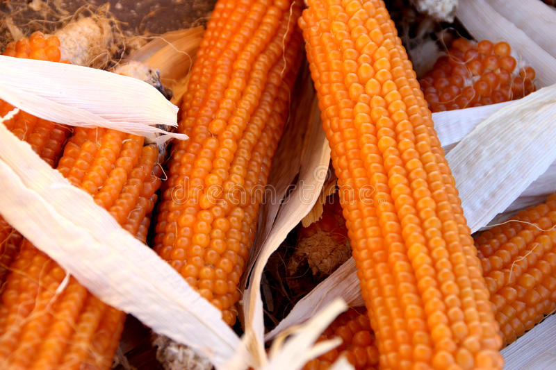 Golden popcorn, Yellow popcorn, Zea mays var. everta. Cereal crop with flat linear leaves and axillary cobs developing yellow grains, used mainly as popcorn stock image