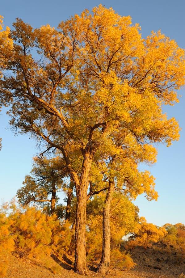 Golden Poplar Trees Stock Images