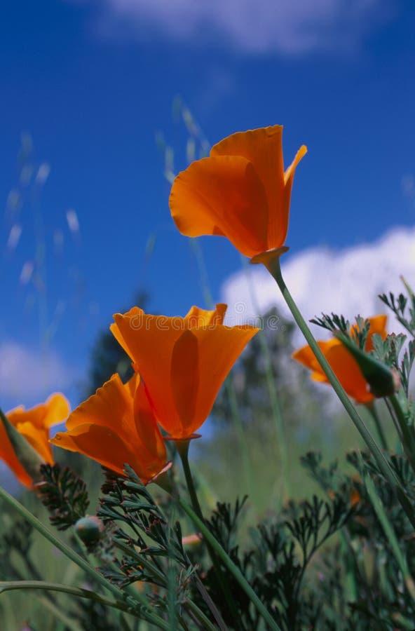 Golden Poppy. California State Flower -- Golden Poppy under blue sky royalty free stock image