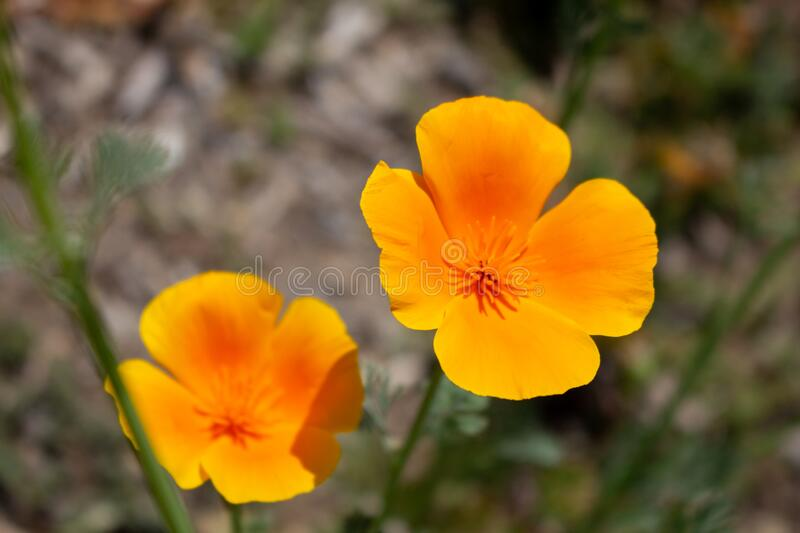 Golden Poppy. A closeup view of two California golden poppy flowers in a field royalty free stock photos