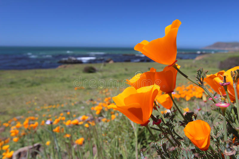 Golden poppy flowers, California, USA stock photography