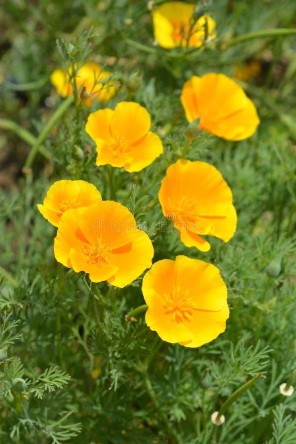 Golden poppy flowers royalty free stock image