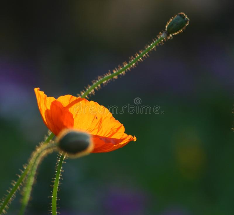 Golden poppy in the sun stock images