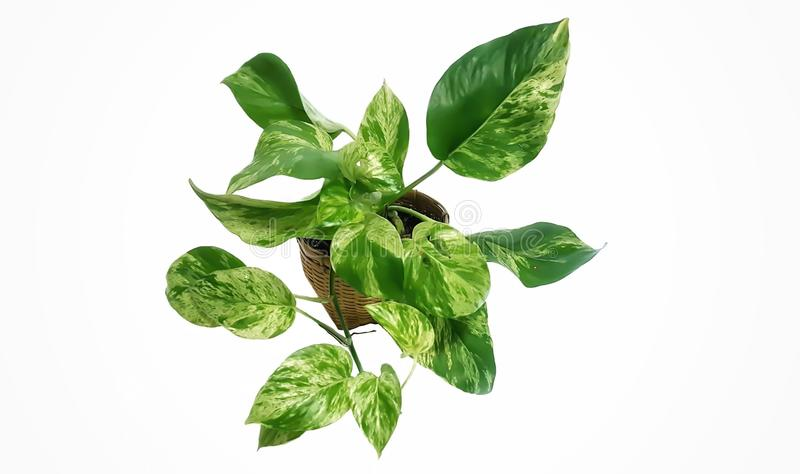 Golden pothos in the basket on wood ,Epipremnum aureum in pot isolated on white background. Drevi`s ivy with copy space royalty free stock photo
