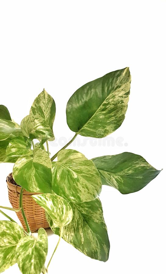 Golden pothos in the basket on wood ,Epipremnum aureum in pot isolated on white background. Drevi`s ivy with copy space stock image