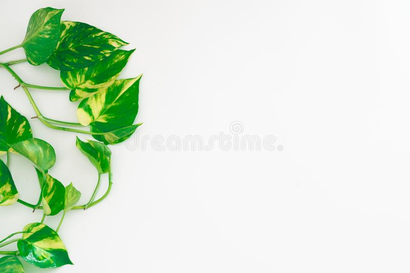 Golden pothos or devil& x27;s ivy or Epipremnum aureum, heart-shaped leaves vine on white backgroun with copy space for your text. stock photos