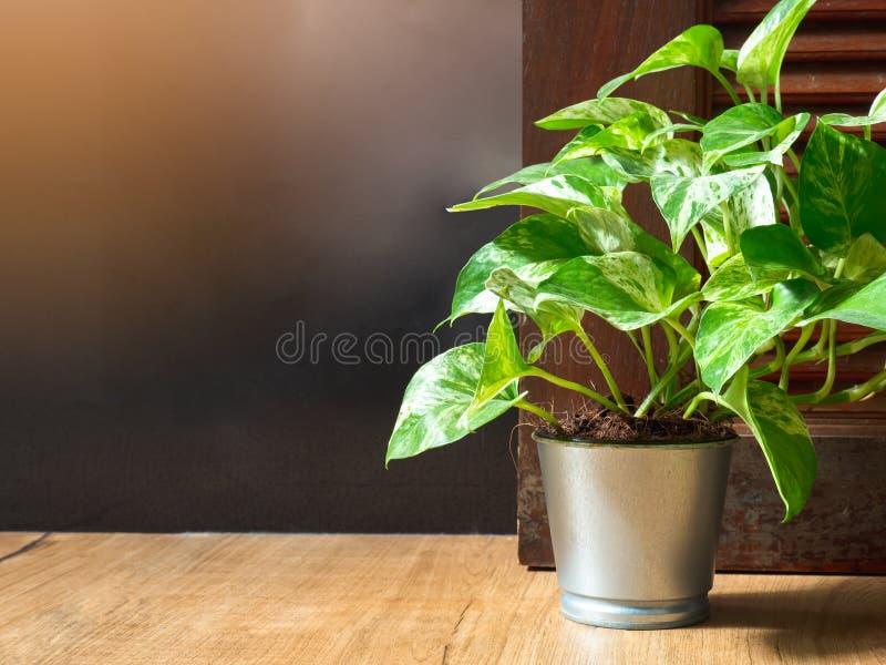 Golden pothos Epipremnum aureum in a aluminum pot on wood ceramic tile floor in front of door with copy space. Devil`s ivy is stock photos