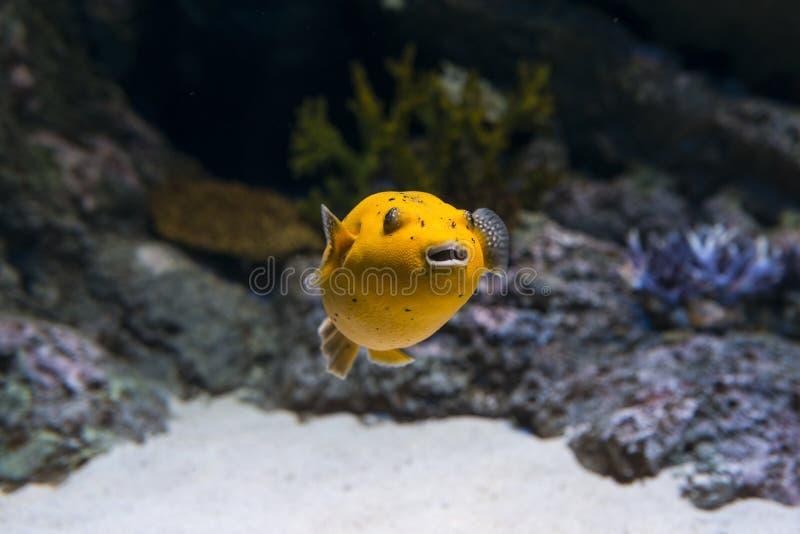 Golden Puffer Fish stock image