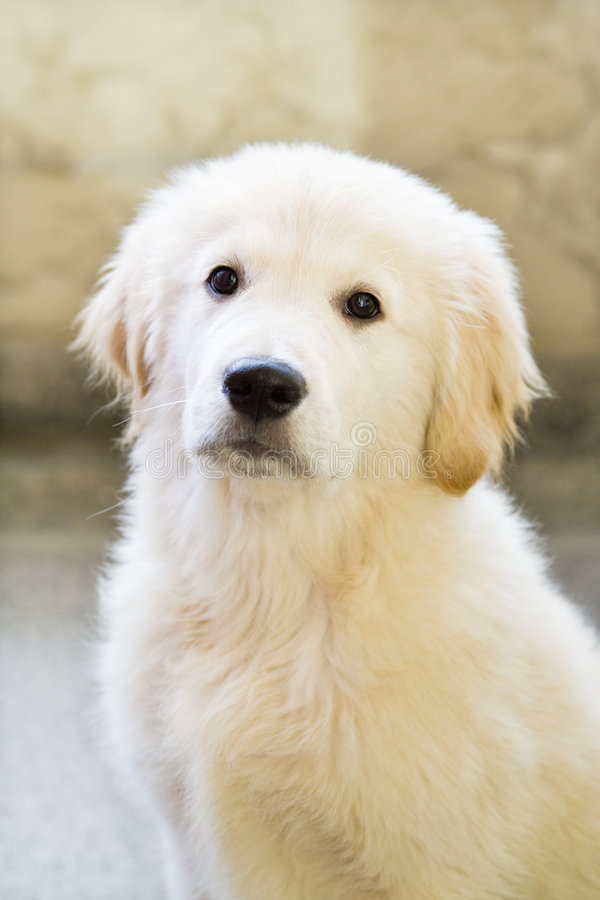 Free Golden Puppy Royalty Free Stock Images - 3546719
