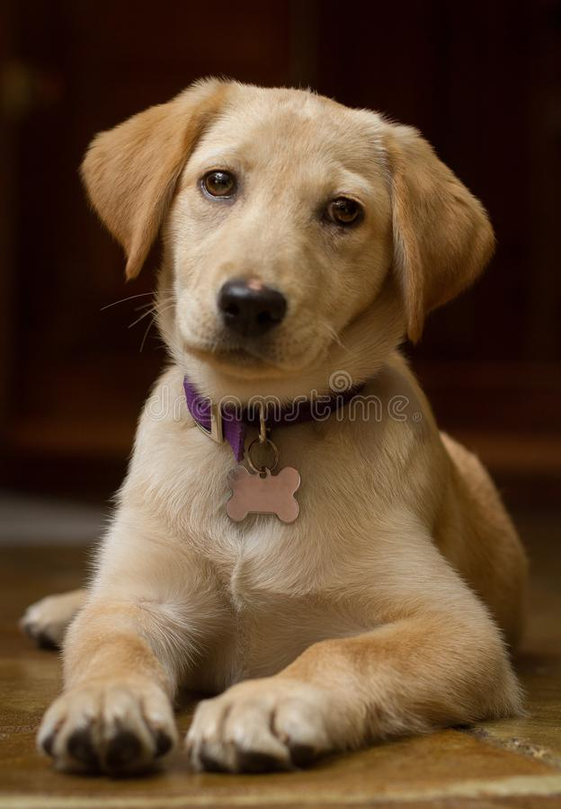 Golden Puppy Laying Down Looking at Viewer. Adorable young puppy laying down and looking at the viewer with a black background royalty free stock images