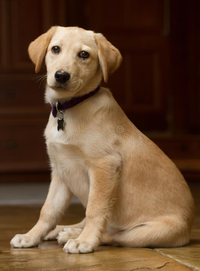 Golden Puppy Sitting Down Looking at Viewer. Adorable young puppy sitting down and looking at the viewer with a black background royalty free stock photo