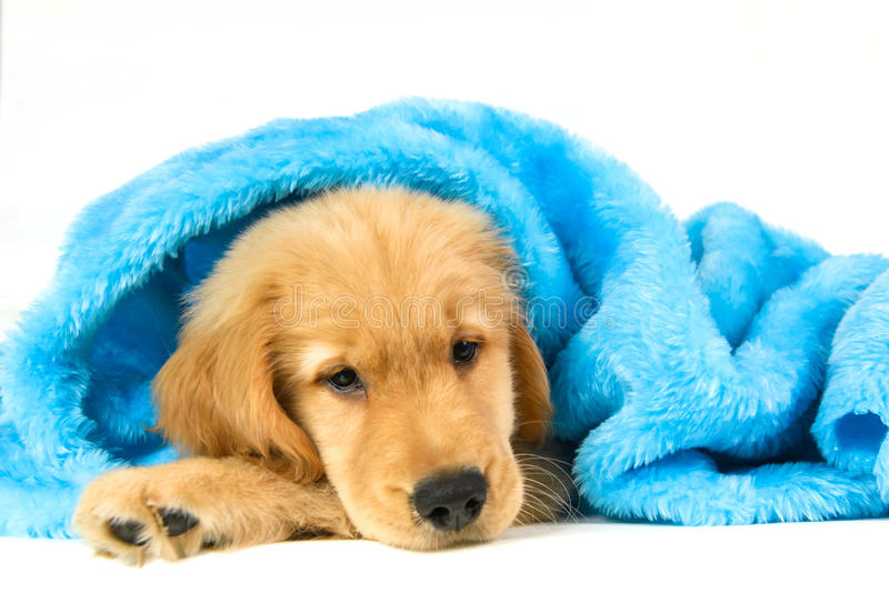 Golden puppy under a blue blanket stock photo