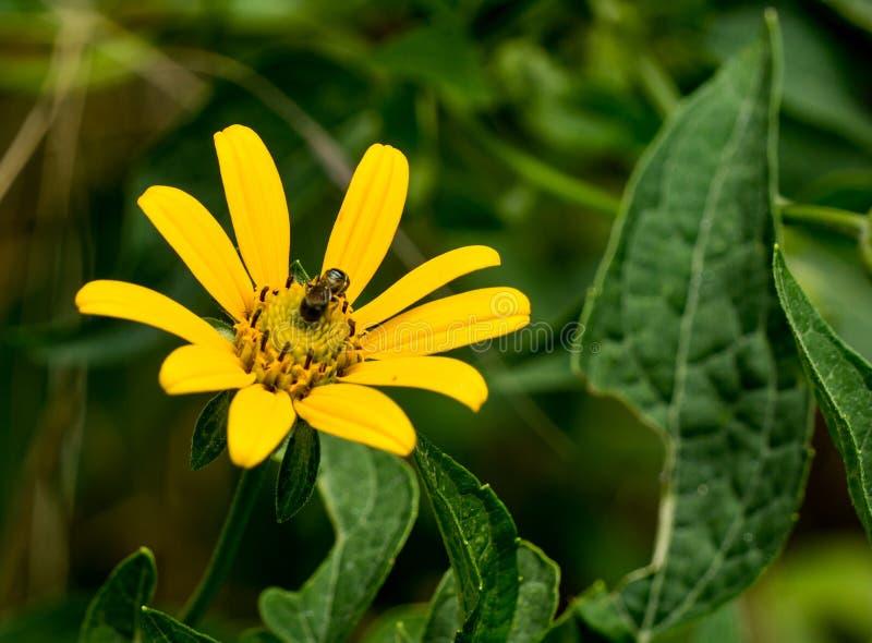 Golden Ragwort - Packera aurea royalty free stock image