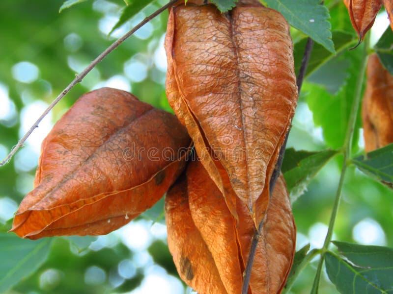 Golden Rain tree, Koelreuteria paniculata, zbliżenie dojrzałych strąków nasiennych Złote nasiona i gałąź drzewa zdjęcia stock