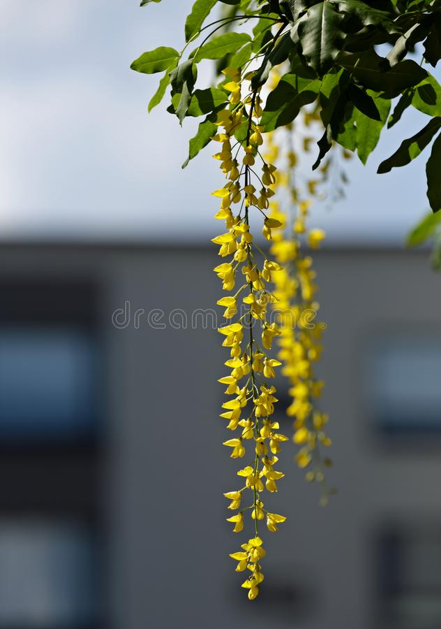 Golden rain tree with yellow flowers royalty free stock images