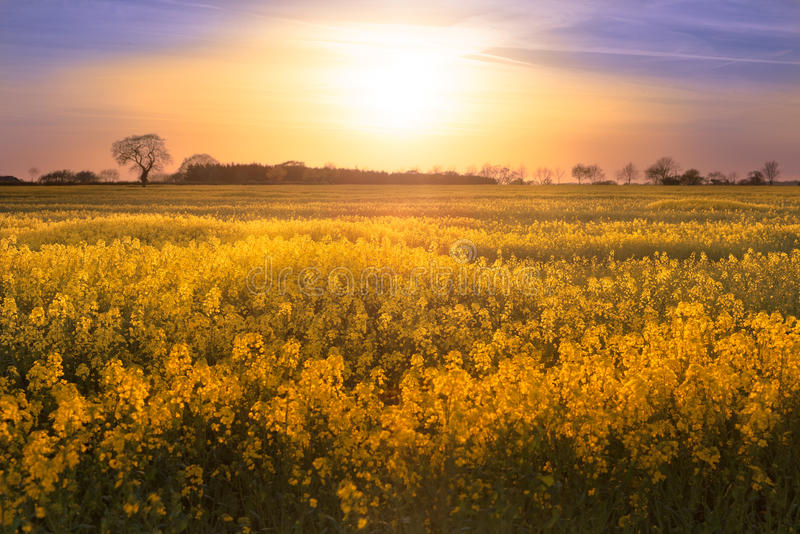 Golden Rapeseed Field Sunset. A field of rapeseed (canola) in Norfolk, England at sunset. The golden sun appears over an attractive treeline to light the yellow royalty free stock image