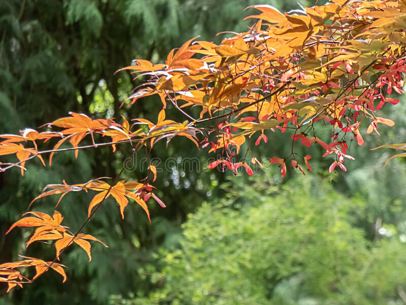 Golden red japanese maple tree with seed pods hanging in springtime royalty free stock photography