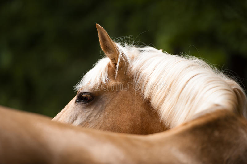 Golden red (palomino) horse with a white mane, portrait close up. Palomino horse with a white mane, portrait close up royalty free stock photo