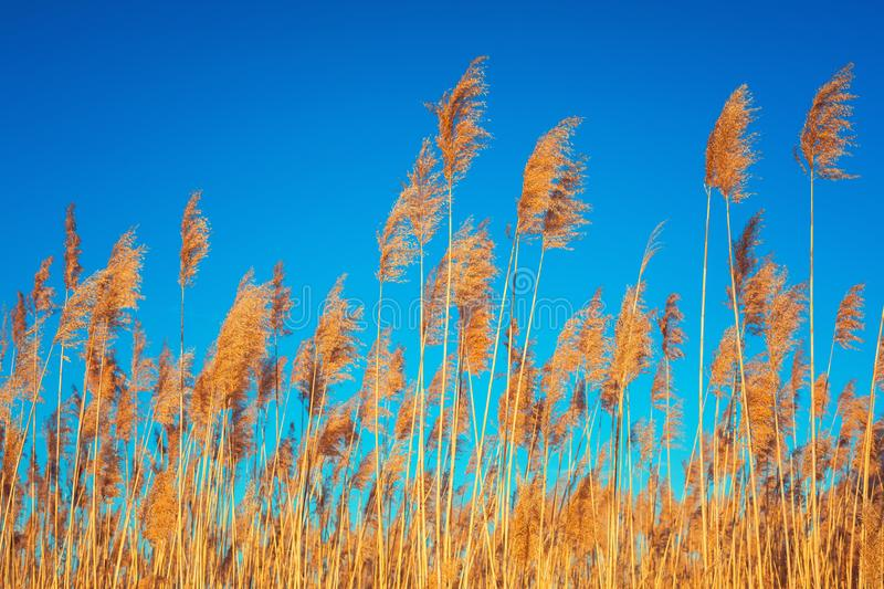 Golden Reeds against sun and blue sky. Reeds near the lake. Back. Golden Reeds against sun and blue sky. Reeds near the lake.Natural background stock photo