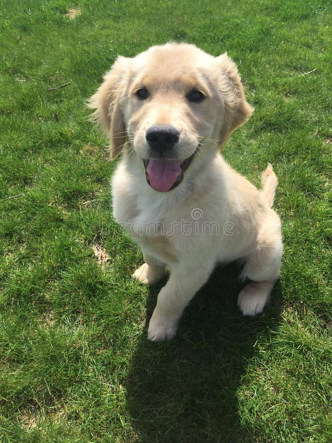 Golden retreiver puppy siting. Finn the puppy playing outside royalty free stock images