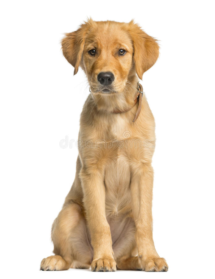 Golden Retreiver puppy sitting. In front of a white background royalty free stock images