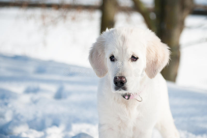 Download Golden Retrieve Puppy In Winter Stock Image - Image: 26839283