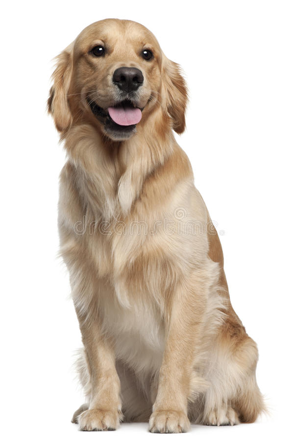 Golden Retriever, 1 and a half years old royalty free stock images