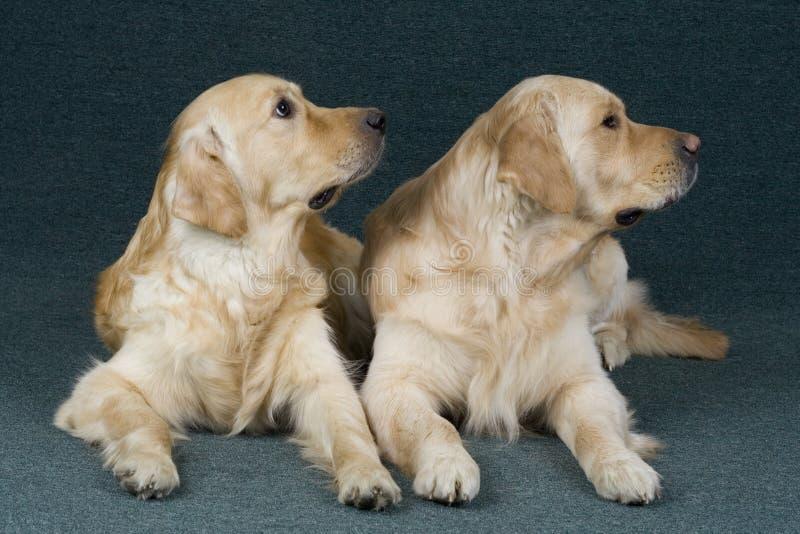 Golden Retriever Royalty Free Stock Photos