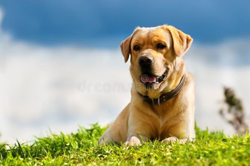 Download Golden retriever stock image. Image of canine, portrait - 17501107