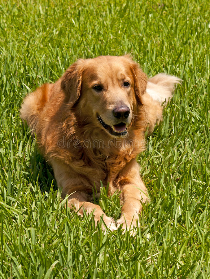 Download Golden Retriever stock photo. Image of brown, breed, background - 19565902