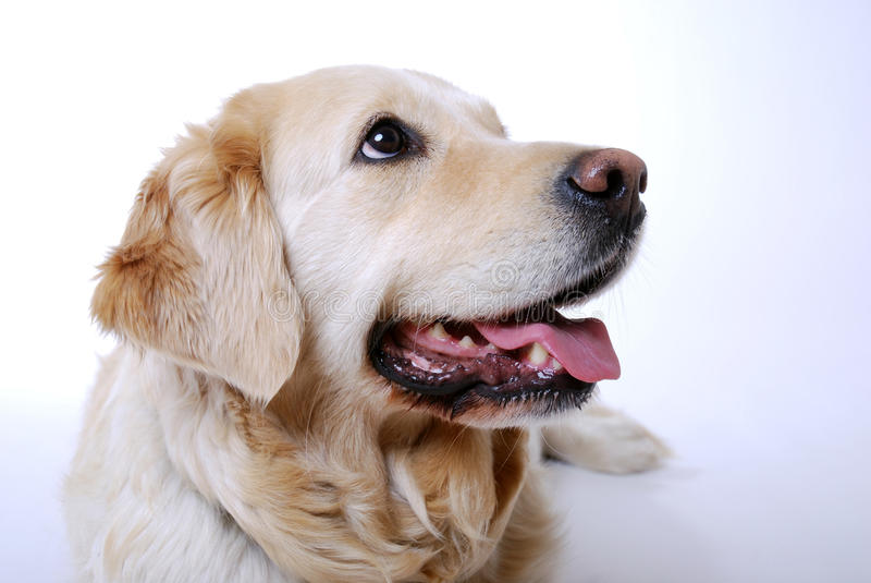 Download Golden Retriever stock image. Image of animal, cheerful - 19648349