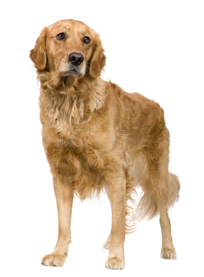 Download Golden Retriever (2 Years) Royalty Free Stock Photos - Image: 5877048