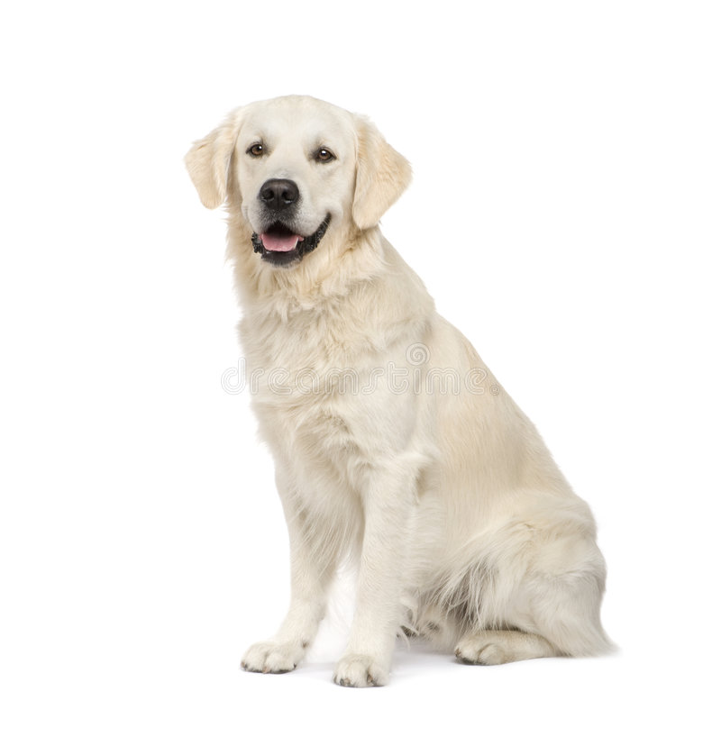 Free Golden Retriever (2 Years) Royalty Free Stock Image - 6853016