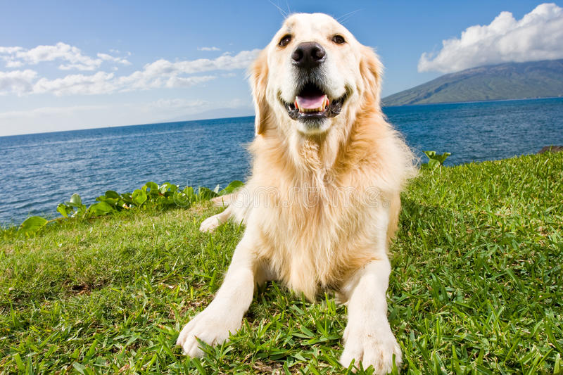 Download Golden Retriever stock image. Image of mammal, canine - 22379265
