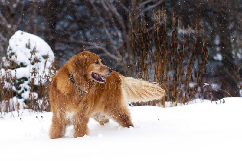Download Golden Retriever stock photo. Image of beauteous, devoted - 25598880
