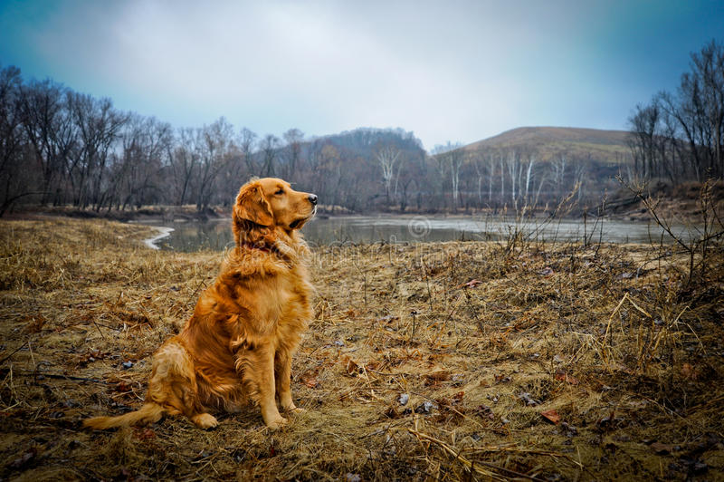 Golden retriever photos stock