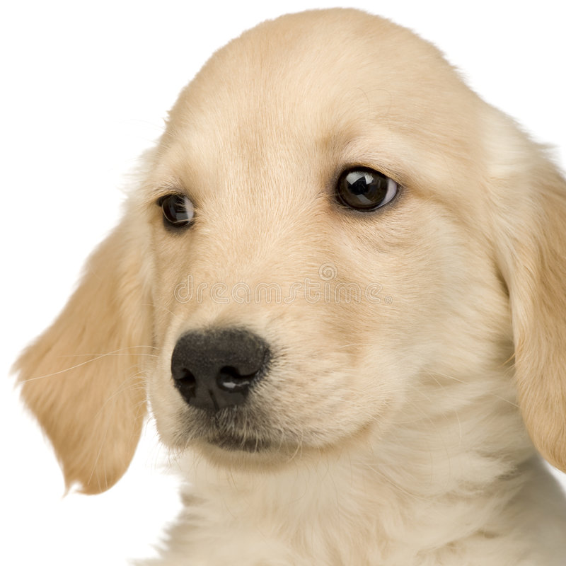 Download Golden Retriever (3 Months) Stock Image - Image: 6075041