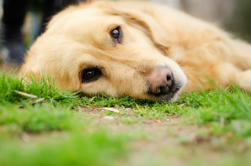 Golden retriever image stock