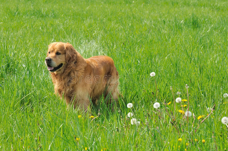 Golden retriever obraz stock
