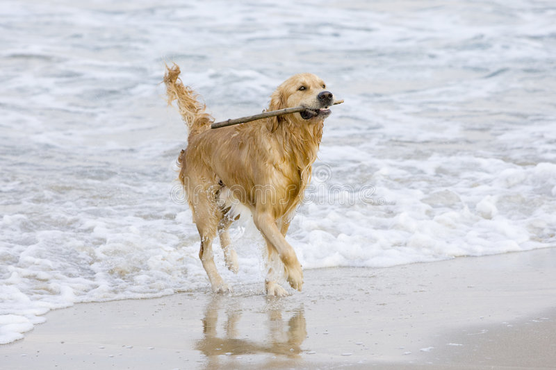 Download Golden Retriever stock photo. Image of freedom, beautiful - 3555468